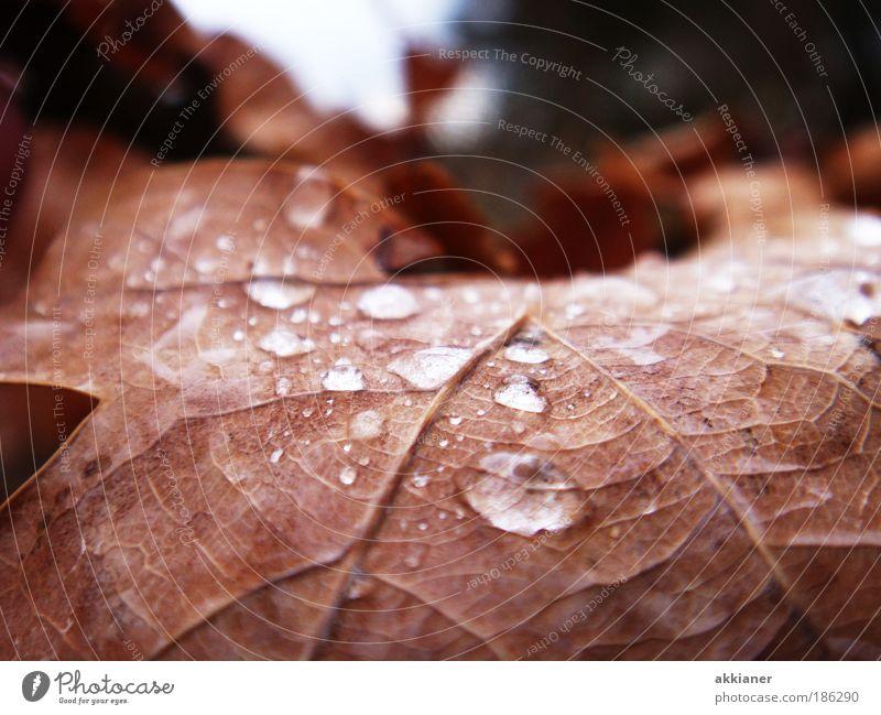 Eichenblatt im Herbst Umwelt Natur Pflanze Urelemente Wasser Wassertropfen Sonne Sonnenlicht Wetter Schönes Wetter Regen Blatt Park nass welk Blattadern