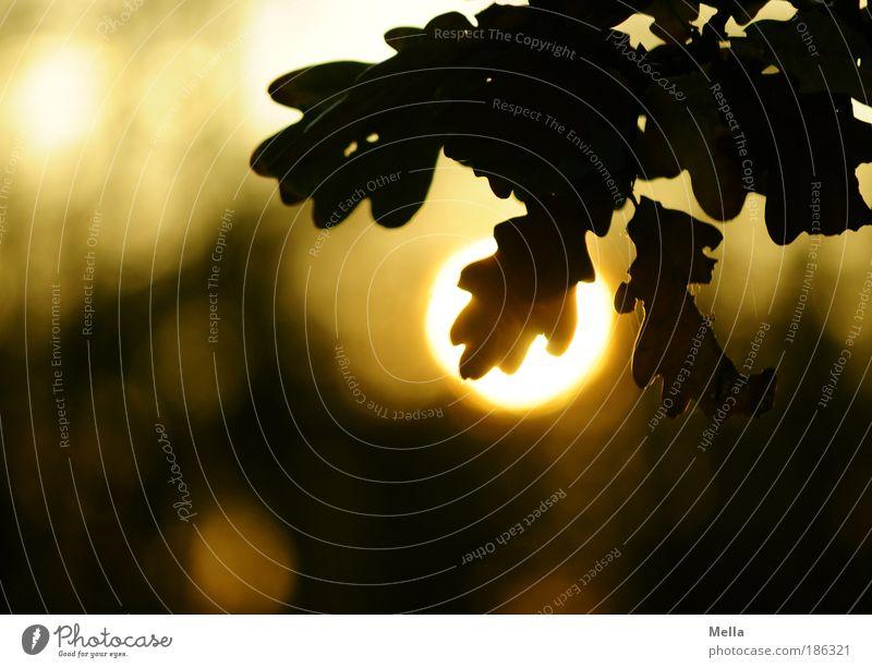 Sonnenhungrig Umwelt Natur Pflanze Sonnenaufgang Sonnenuntergang Baum Blatt Eiche Eichenblatt Park hängen leuchten Wachstum natürlich Stimmung Lebensfreude
