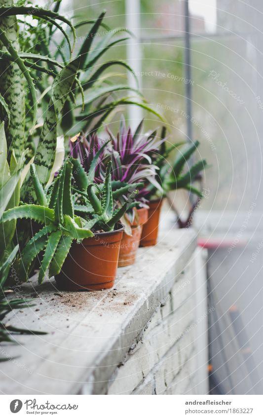 Botanischer Garten Freizeit & Hobby Natur Pflanze Herbst Kaktus exotisch genießen Gärtner Gärtnerei Fenster Wintergarten Blumentopf Topfpflanze grün violett