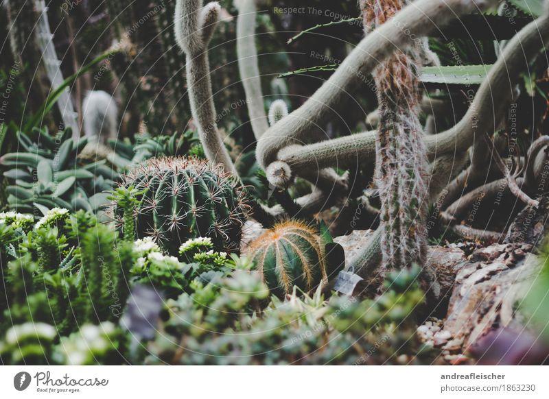 Kakteenlandschaft exotisch Gesundheit Umwelt Natur Pflanze Sträucher Kaktus Blüte Grünpflanze Opferbereitschaft achtsam Angst Stachel schwierig Sammlung