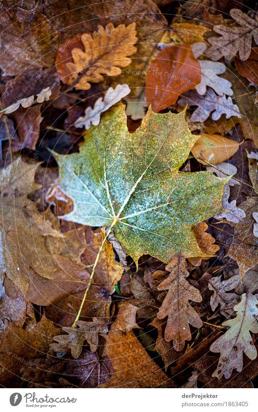 Das letzte grüne Blatt Natur Ferien & Urlaub & Reisen Pflanze Wald Umwelt Herbst braun Tourismus Eis Ausflug Dekoration & Verzierung wandern Fröhlichkeit