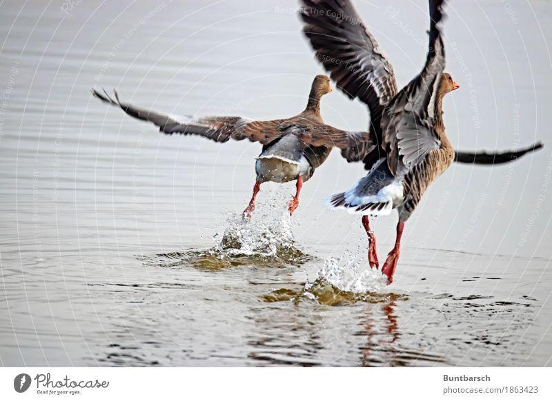Aufschwung Umwelt Natur Tier Wasser Wildtier Vogel Ente Entenvögel 2 fliegen Zusammenhalt Farbfoto Außenaufnahme Tag Zentralperspektive Tierporträt