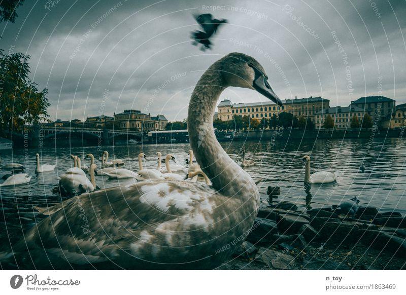 Swans blau Stadt Wasser ruhig gelb Herbst grau fliegen Stimmung Europa Flügel groß Tiergruppe Abenteuer bedrohlich Brücke