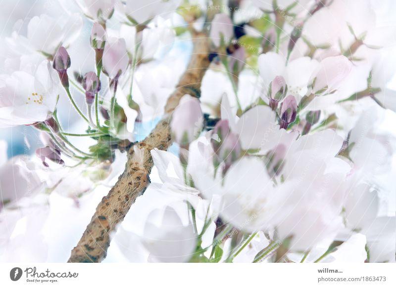 Zweig mit weißen Kirschblüten Frühling Zierkirsche Blüte Blütenknospen Frühlingskirsche Natur Blütenzweig Blühend Frühlingsgefühle Vorfreude Wachstum zart