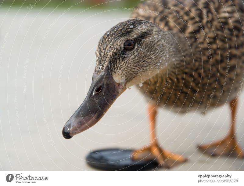 Tier gelb Vogel Ente Feder Neugier Interesse Entenvögel Stockente