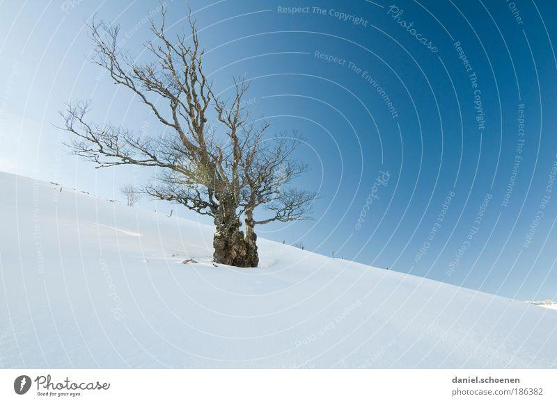 schön bizarr Natur alt weiß Baum blau Winter Schnee Wind Umwelt Pflanze ästhetisch Klima außergewöhnlich Schönes Wetter Klimawandel