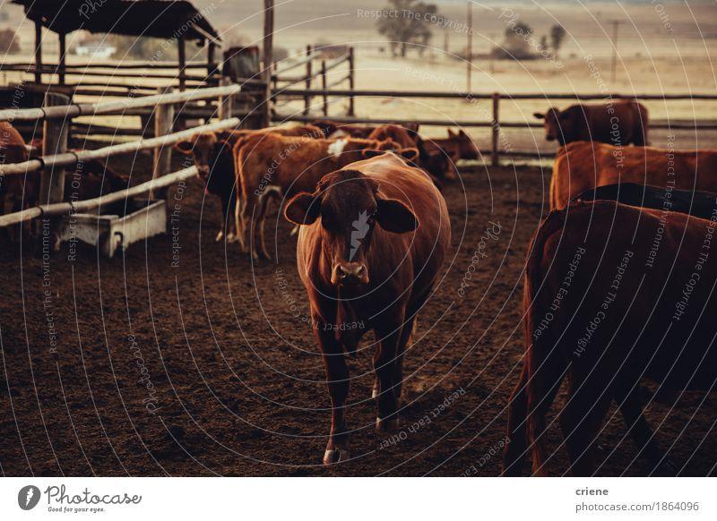 Brown-Jersey-Kuh, die in der Hürde steht Natur Tier Menschengruppe stehen Weide Bauernhof Zaun reizvoll Fleisch ländlich Wildnis Landleben Rind heimisch züchten