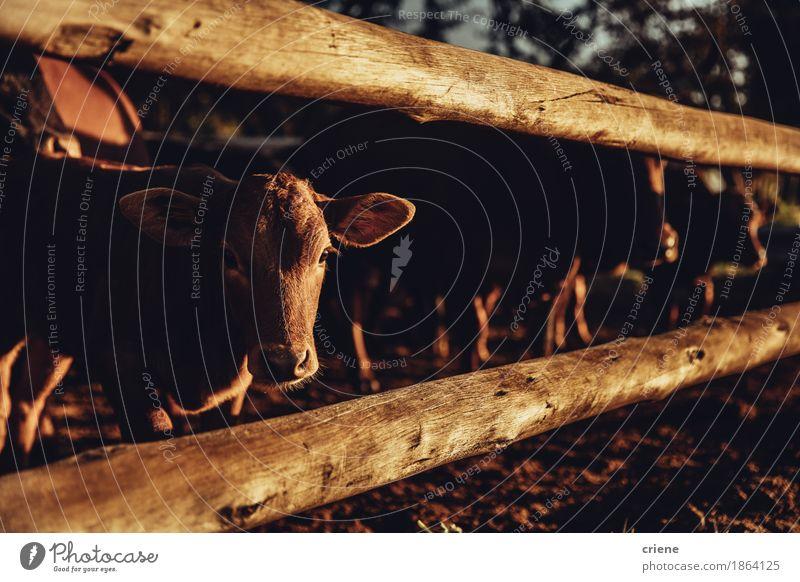 Eine niedliche Kuh haftet Kopf durch Zaun der Scheune und schaut in camera Fleisch Bioprodukte Lifestyle Tier Wärme Dürre Wiese Tiergruppe Herde Fressen schön