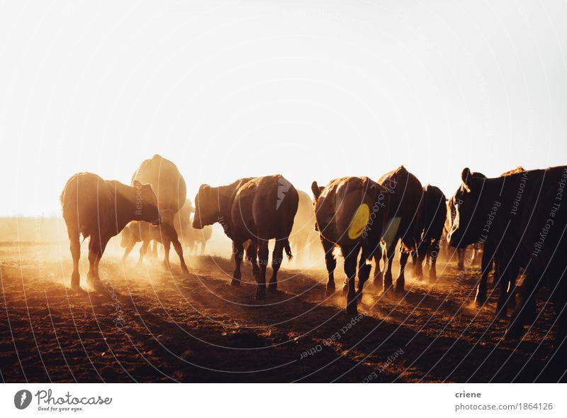 Braune Kühe der freien Strecke, die auf staubiger Offenlandfarm weiden lassen Fleisch Umwelt Natur Tier Schönes Wetter Wärme Dürre Wiese Feld Kuh Tiergruppe