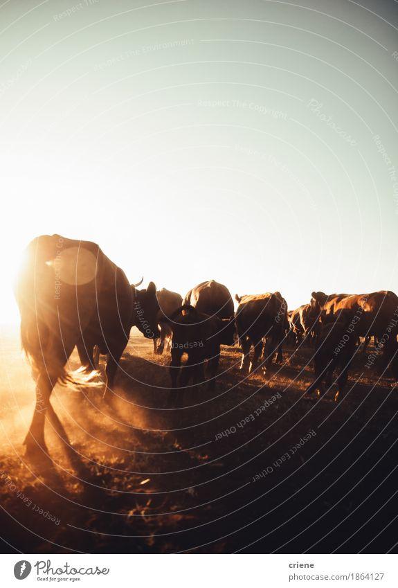 Vieh, das Staub auf ländlichem Ackerland im Sonnenuntergang explodiert Natur Sommer Landschaft Tier Umwelt Wärme Wiese wild Textfreiraum Feld Idylle Tiergruppe