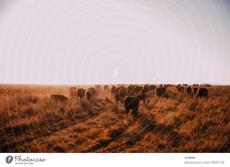 Brown-Freilandkühe, die auf trockener Wiese weiden lassen Fleisch Sommer Natur Landschaft Tier Sonne Schönes Wetter Wärme Feld Kuh Tiergruppe Herde Fressen