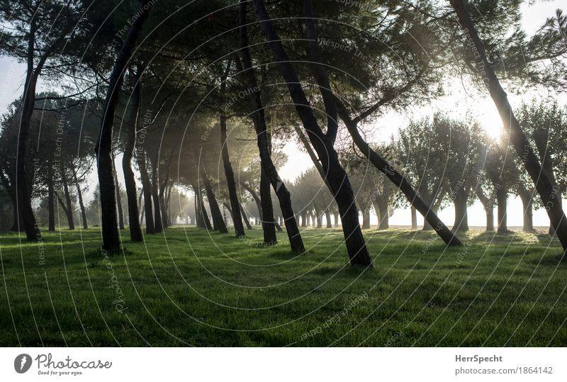 Pinienhain am Morgen Herbst Baum Gras Wald Italien natürlich braun grün Baumreihe Pappeln Neigung Baumstamm Perspektive Graswiese ruhig Durchblick Nebelstimmung