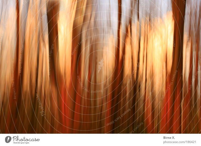 Zauberwald Umwelt Natur Landschaft Pflanze Herbst Baum Wald Angst unscharf Baumstämme Farbfoto Außenaufnahme Experiment abstrakt Menschenleer Abend Kontrast