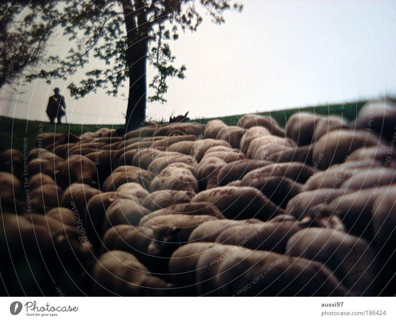 It's sheep we're up against Schaf Schäfer Hirte hüten Landwirt Farmer Wolle Pullover Käse Rohmilch