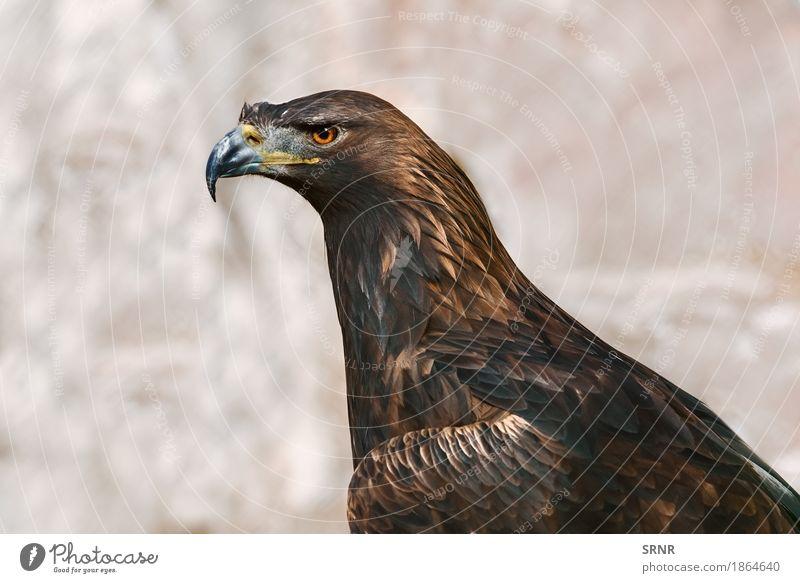 Porträt von Adler Natur Tier Vogel 1 wild braun Vogelwelt Schnabel Geldscheine neb Steinadler Vogelbeobachtung Fauna federleicht gefiedert Gefieder Tierwelt