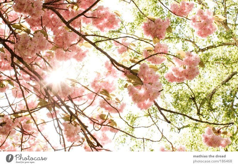 FRÜHLING Natur schön Baum Sonne Blume Pflanze Blatt Gegenlicht Erholung Wiese Blüte Jahreszeiten Frühling Geruch Park rosa