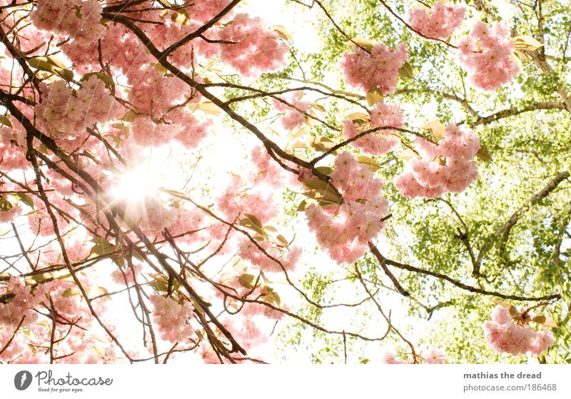 FRÜHLING Umwelt Natur Pflanze Sonne Frühling Schönes Wetter Baum Blume Blatt Blüte Nutzpflanze Kirschbaum Park Wiese schön Kirschblüten Duft Biene Nektar rosa