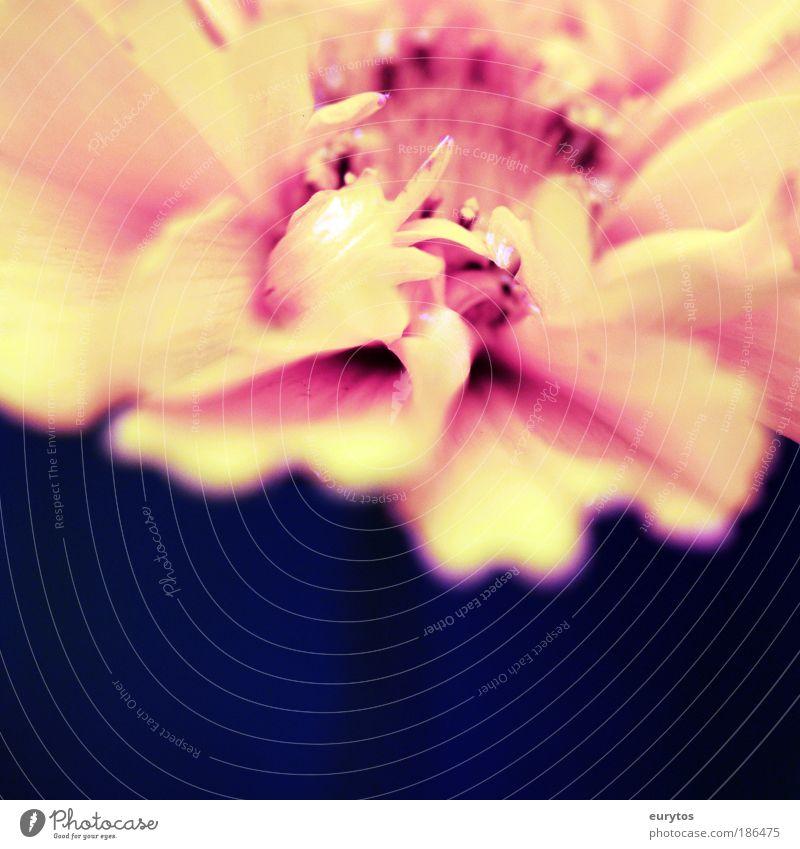 Blüten *macro* Natur Blume Pflanze rot Sommer gelb Frühling Holga rosa Umwelt Makroaufnahme ästhetisch Lomografie violett exotisch