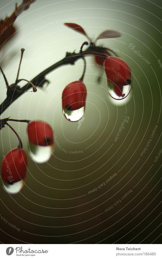 Melancholie Umwelt Natur Landschaft Pflanze Herbst schlechtes Wetter Regen Sträucher Blatt Blüte Park träumen Traurigkeit weinen verrückt rot Trauer Schmerz