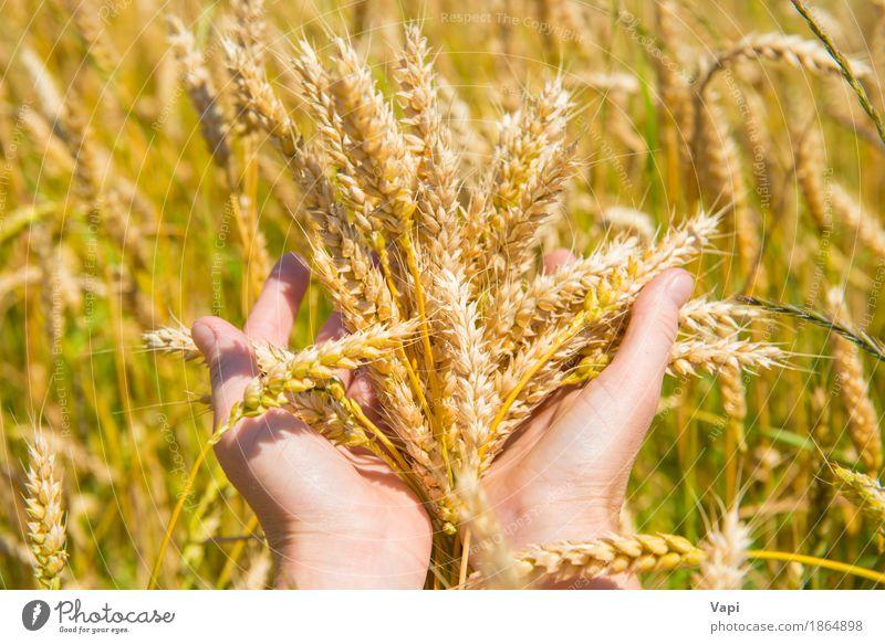 Weizen in den Händen Brot Sommer Frau Erwachsene Hand Natur Landschaft Pflanze Herbst Nutzpflanze Wiese Feld Wachstum natürlich gelb gold Ackerbau Korn Landwirt