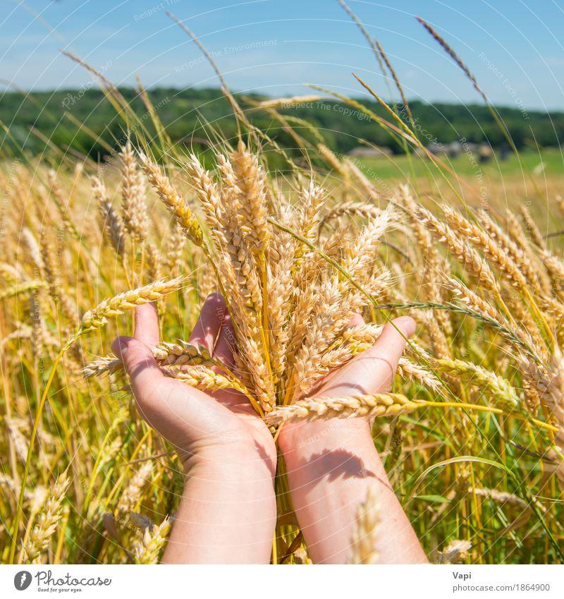 Weizen in den Händen Brot Sommer Frau Erwachsene Hand Natur Landschaft Pflanze Herbst Gras Nutzpflanze Wiese Feld Wald Wachstum natürlich gelb gold grün