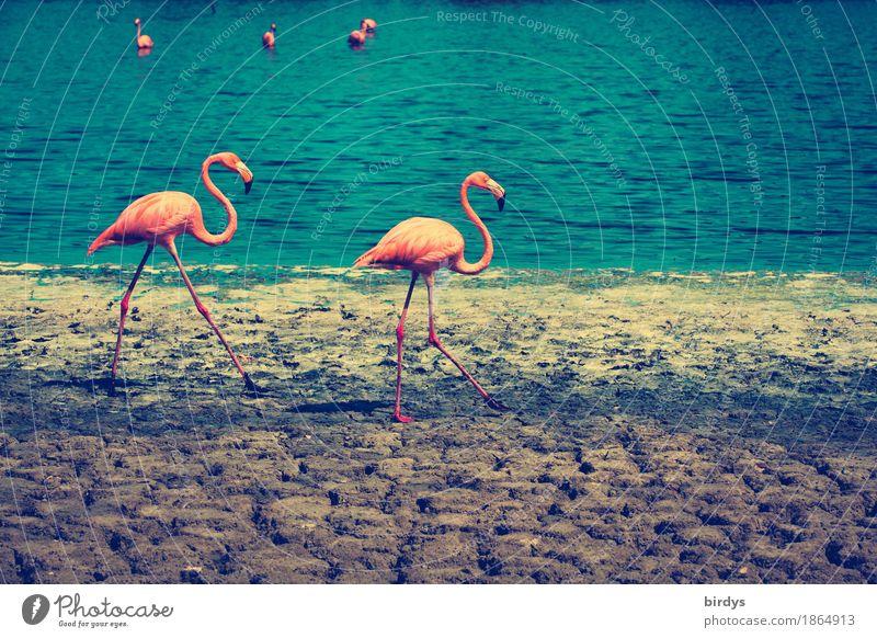 Flamingobay Natur blau Farbe Tier natürlich Bewegung braun gehen rosa frei Erde Tierpaar elegant ästhetisch Schönes Wetter Seeufer