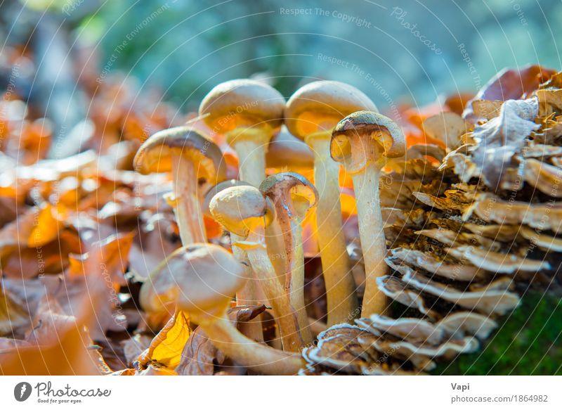 Gruppe Pilze Gemüse Bioprodukte Vegetarische Ernährung Natur Pflanze Herbst Gras Blatt Wildpflanze Wald Wachstum frisch lecker natürlich wild braun gelb grün