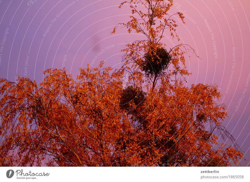 Morgenstund Himmel Morgendämmerung Sonnenaufgang Textfreiraum Wolken Birke Baum Ast Zweig Blatt Herbstlaub Mistel Menschenleer