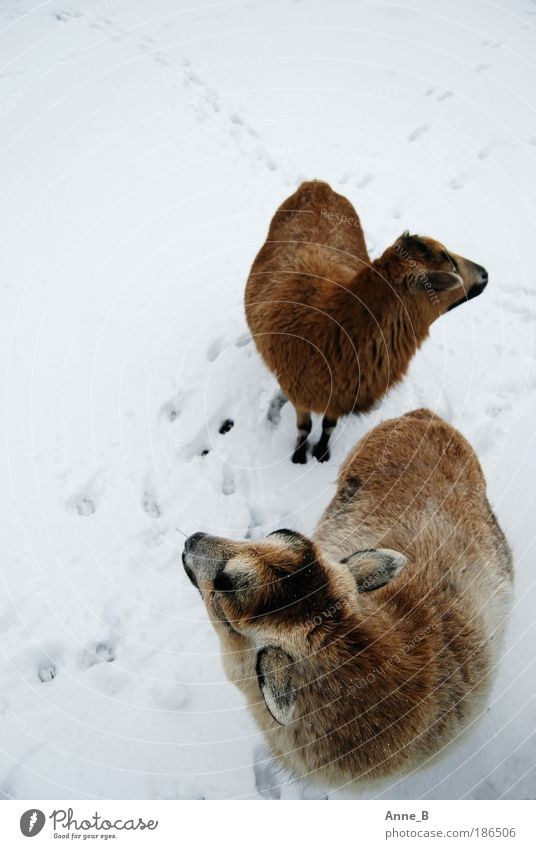 Wo ist denn dieser blöde Hirte?? Natur weiß Winter ruhig schwarz Tier kalt Schnee Eis braun Zusammensein Feld Tierpaar Suche Frost stehen