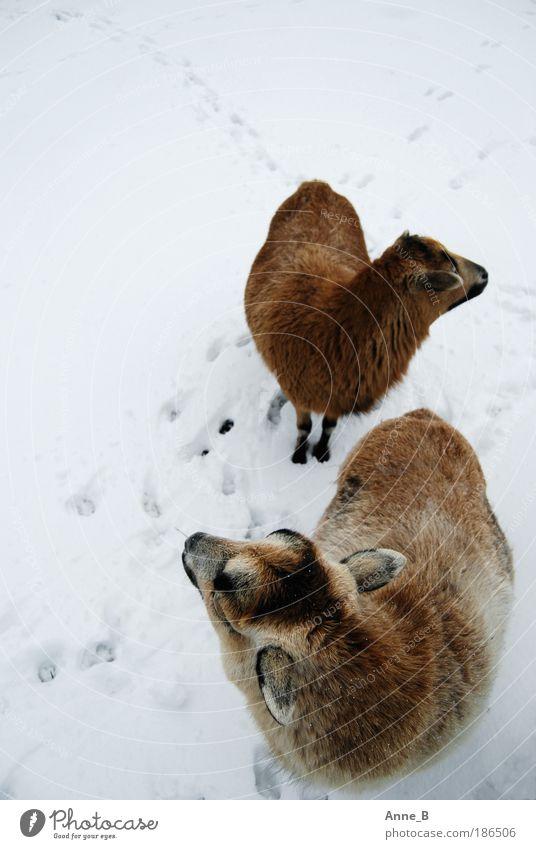 Wo ist denn dieser blöde Hirte?? Natur Winter Eis Frost Schnee Feld Tier Fell Schaf 2 Tierpaar Fährte entdecken Blick stehen Zusammensein kalt natürlich