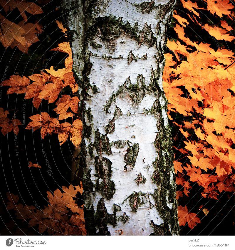Annalen Umwelt Natur Pflanze Herbst Schönes Wetter Birke Baumstamm Birkenrinde alt dehydrieren orange schwarz weiß Idylle Vergänglichkeit Herbstlaub
