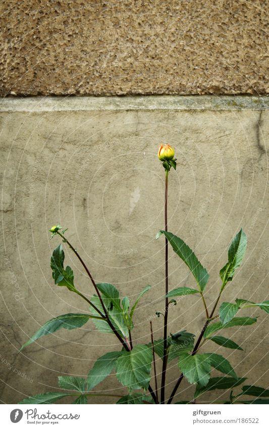mauerblümchen Blume Pflanze Blatt gelb Wand Blüte Mauer authentisch Blühend dezent Hausmauer
