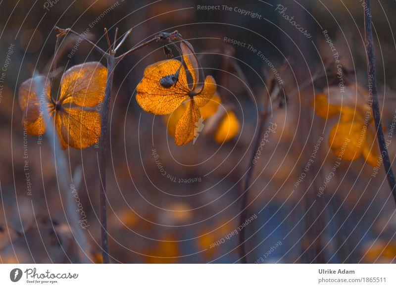 Verblühte Hortensien Design harmonisch Wohlgefühl Zufriedenheit Erholung Meditation Häusliches Leben einrichten Innenarchitektur Tapete Bild Postkarte Natur