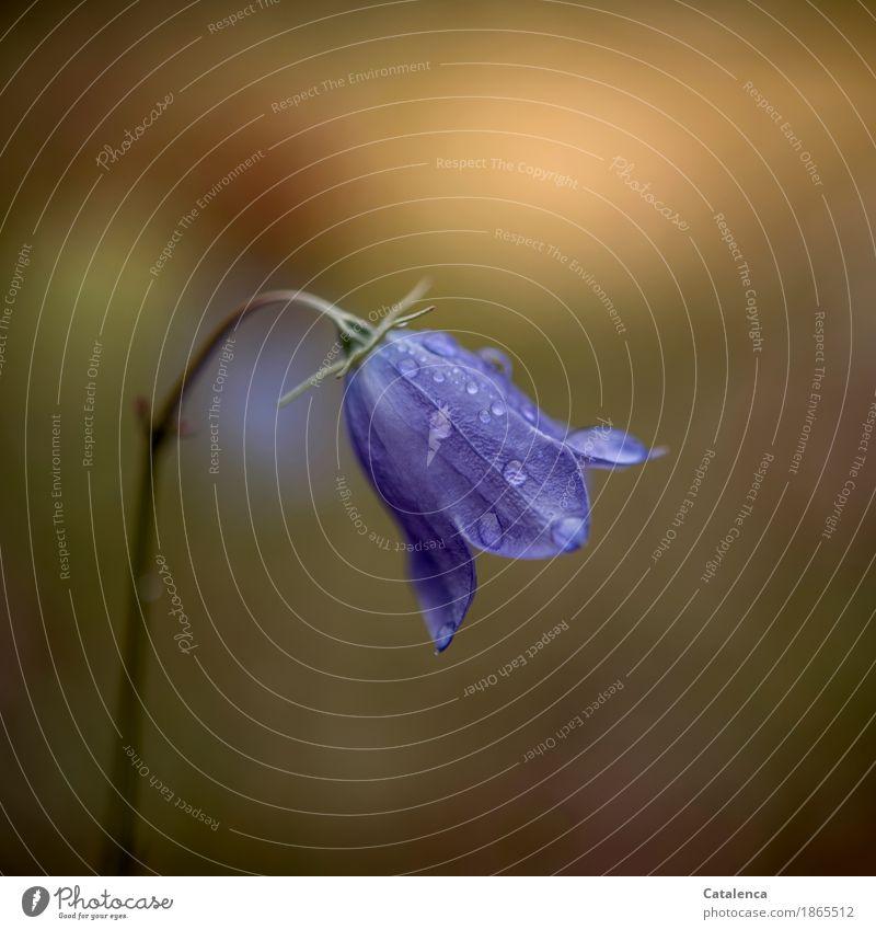 Glockenblume Natur Pflanze Wassertropfen Sommer Schönes Wetter Blume Blüte Wiese Blühend ästhetisch frisch nass blau braun gelb grün achtsam Umwelt Umweltschutz