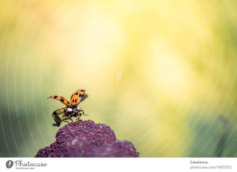 Abflug Natur Pflanze Tier Sommer Schönes Wetter Nutzpflanze Blumenkohl Garten Wiese Käfer Flügel Marienkäfer 1 fliegen krabbeln ästhetisch gelb grün violett
