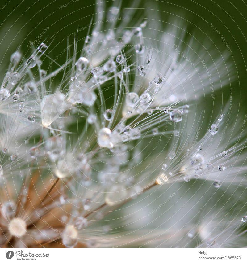 mit Perlenschmuck Umwelt Natur Pflanze Wassertropfen Frühling Regen Blume Wildpflanze Löwenzahn Samen Wiese Wachstum ästhetisch außergewöhnlich einzigartig