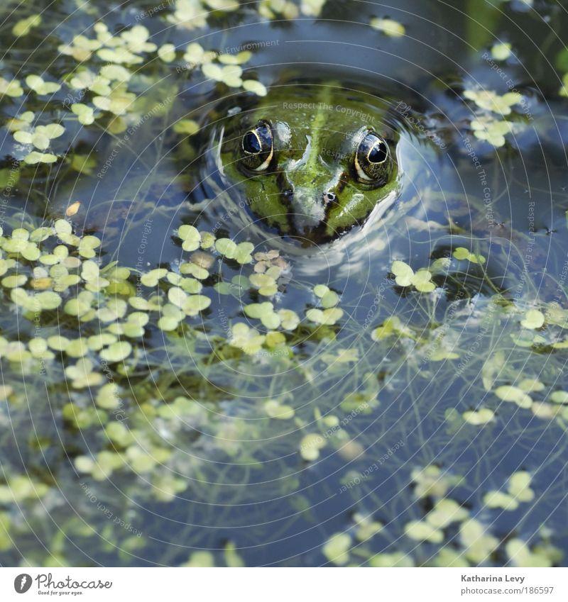 Tümpel-König Mr. Glubsch Natur Wasser grün blau Pflanze Ferien & Urlaub & Reisen Einsamkeit Tier Ferne Leben Freiheit See Zufriedenheit Umwelt Farbfoto Perspektive