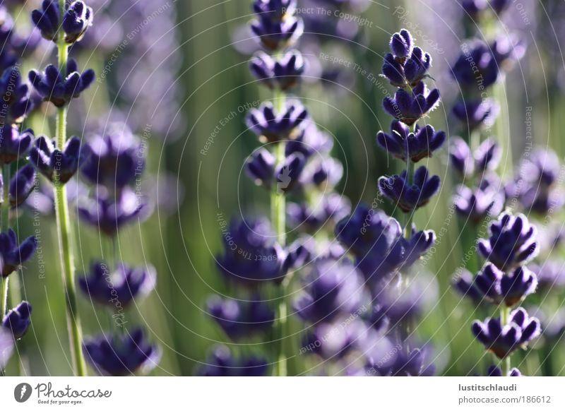lila - lavendel Natur Pflanze Sommer Farbe Wiese Gefühle Landschaft Stimmung Umwelt ästhetisch natürlich Warmherzigkeit Idylle Schönes Wetter Umweltschutz