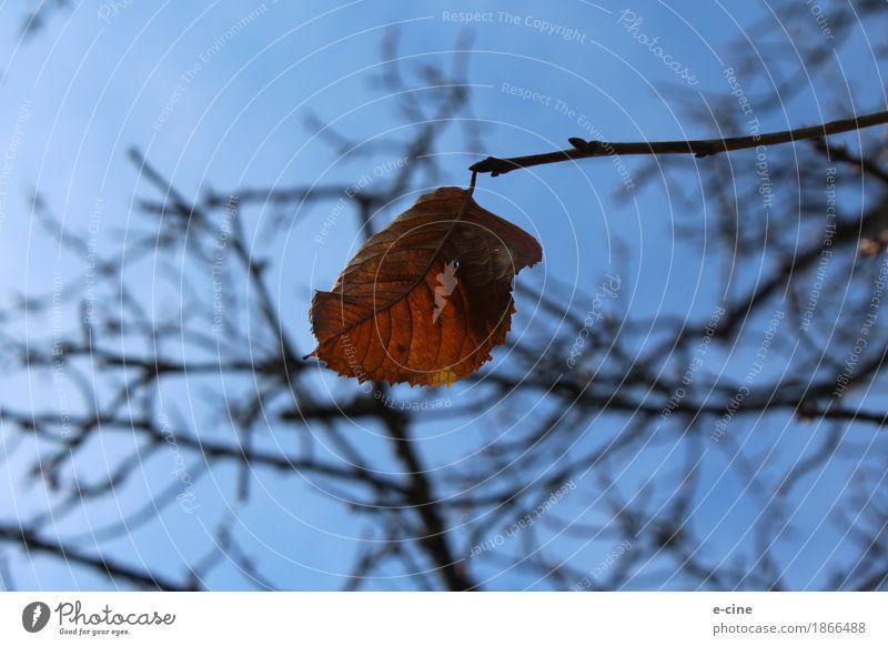 Das letzte Herbstblatt Natur Pflanze Himmel Schönes Wetter Dürre Baum Blatt Ast Trocken Wiese Feld hängen alt blau braun gelb gold Zufriedenheit Tapferkeit