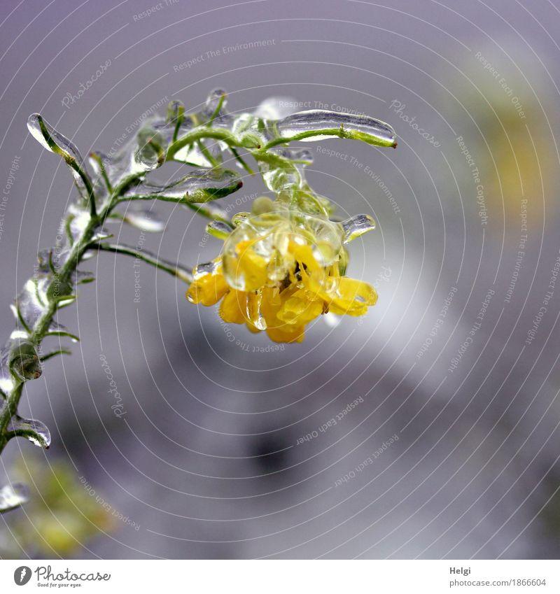 erstarrt ... Umwelt Natur Pflanze Winter Eis Frost Blüte Nutzpflanze Feld Blühend frieren hängen authentisch außergewöhnlich kalt natürlich gelb grau grün weiß
