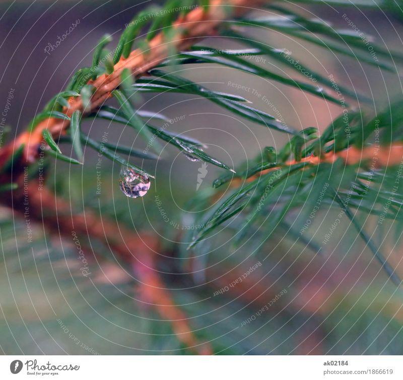 Regentropfen auf einem Fichtenzweig Umwelt Natur Landschaft Pflanze Wasser Wassertropfen Herbst schlechtes Wetter Baum Wald Flüssigkeit glänzend kalt stachelig