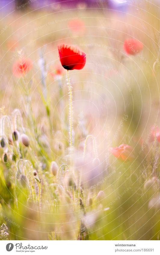 Natur schön Farbe Erholung Gefühle Frühling Freiheit Feld elegant Zufriedenheit Fröhlichkeit Schönes Wetter Warmherzigkeit einzigartig Romantik Hoffnung