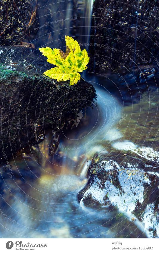 Herbstlich verwaschen Leben Zufriedenheit Meditation Natur Wasser Blatt Ahornblatt Bach leuchten dunkel authentisch einfach kalt nass natürlich Traurigkeit