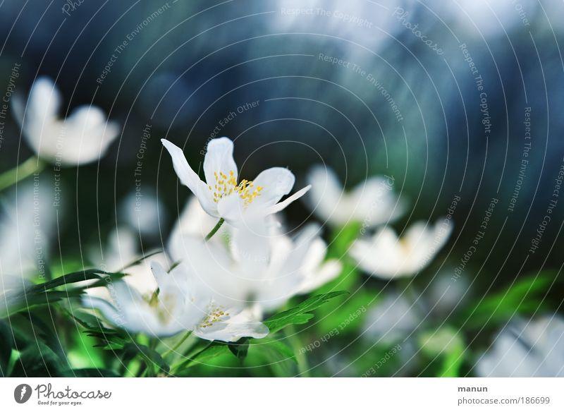 nach dem Frost Natur blau schön grün weiß Erholung Blume Blatt kalt Wiese Frühling Blüte Feste & Feiern Park frisch Fröhlichkeit