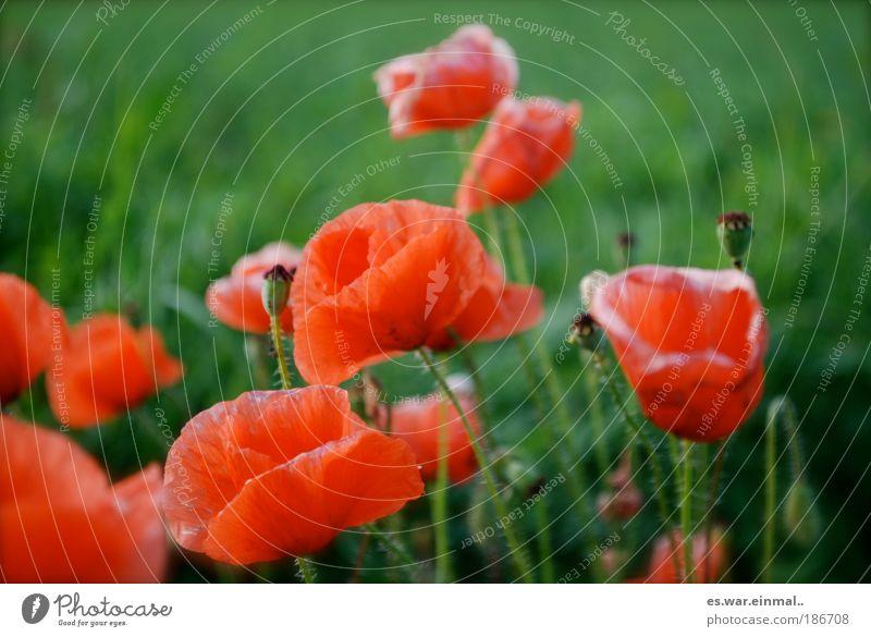 komplementär. Natur Pflanze Sommer Blume ruhig Erholung Wiese Blüte Frühling Landschaft Zufriedenheit frisch Kitsch Blühend Mohn Duft
