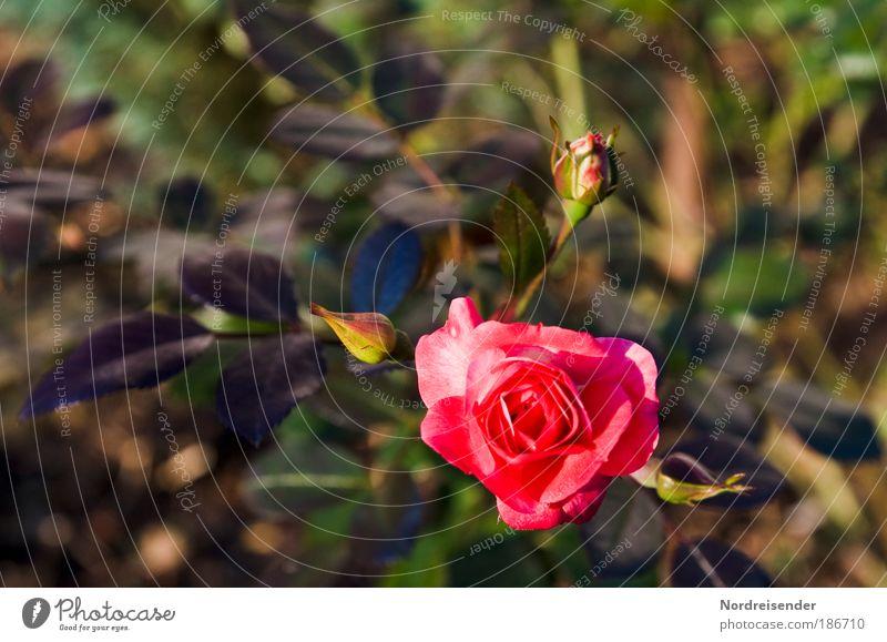 Erster Advent Natur schön Pflanze Leben elegant natürlich ästhetisch Wachstum Lifestyle einzigartig Romantik Rose Sauberkeit beobachten Warmherzigkeit Blühend