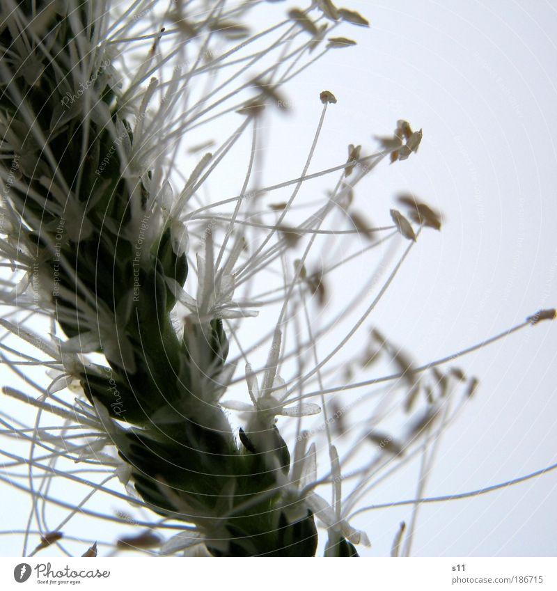 WiesenBlümchen Natur weiß Blume grün Pflanze Sommer Blüte Gras Park elegant Umwelt Stern (Symbol) ästhetisch dünn zart