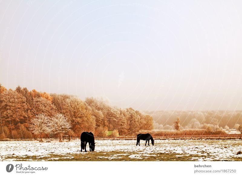 winterpferde Natur Pflanze Tier Himmel Wolken Herbst Winter Eis Frost Schnee Baum Gras Sträucher Wiese Feld Wald Pferd 2 Fressen frieren kalt schön gefroren