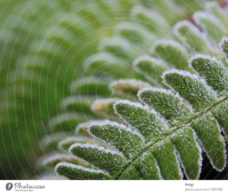 frostig angehaucht Natur Pflanze Winter Eis Frost Farn Grünpflanze frieren ästhetisch kalt natürlich grün weiß bizarr einzigartig Idylle Symmetrie Umwelt