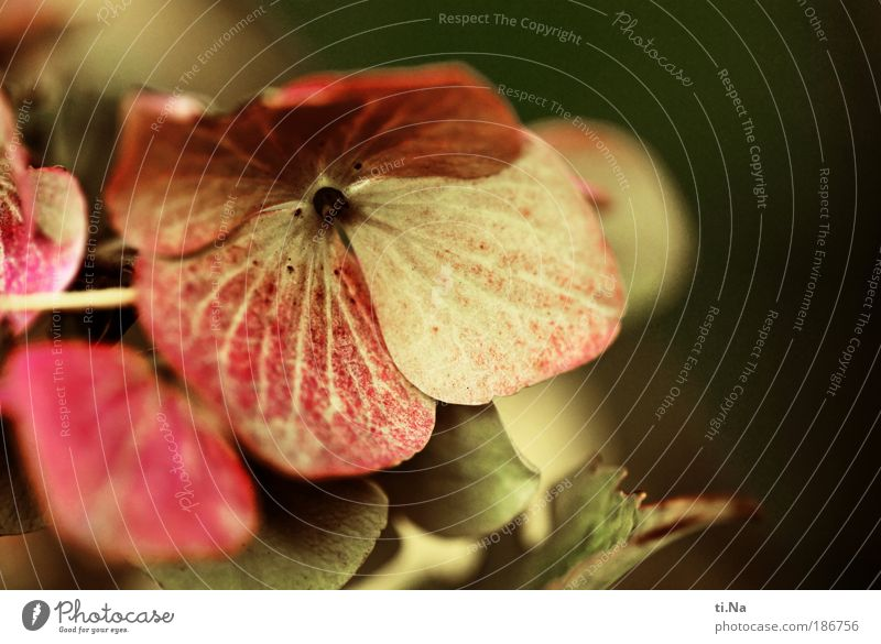 Du bist die Beste Natur schön Blume Pflanze Sommer Blatt Herbst Blüte Landschaft Umwelt Klima Blühend Hortensie Hortensienblüte